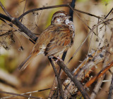 Sparrow_cropped.jpg