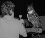 Encouraging Great Horned Owl to vocalize.