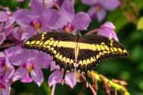 Swallowtail On Orchids