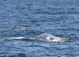 Gray Whale and Bottlenose Dolphin