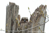 Great Horned Owl,chick