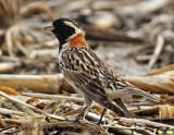 Lapland Longspur, yes, a life bird