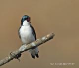 Tree Swallow singing