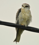 black-winged_kite