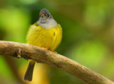 grey_headed_flycatcher