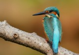 kingfisher_7100