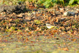 Bergeronnette printanière - Western Yellow Wagtail - Motacilla flava