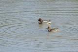 Sarcelle d'hiver - Eurasian Teal - Anas crecca