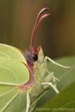 Brimstone (Gonepteryx rhamni)