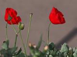 P3130050_poppies_8b.jpg