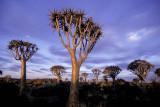 Kookerboom, Namibia