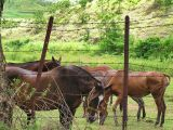 Horses in near farms / Caballos en fincas cercanas