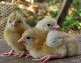 Chickens littles / Pollitos