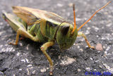 locusts_and_grasshoppers