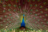Peacock.tif.jpg