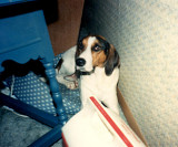 Thompson, our Treeing Walker Coonhound
