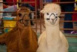 Alpacas don't like strobes....trust me.