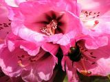 Rhododendron flower with bumble bee.1.jpg