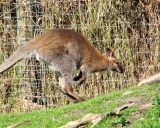 Bennets Wallaby2