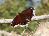 Peveto Woods, Mourning Cloak Butterfly