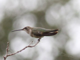 Camp Briar Patch, Black-chinned Hummingbird
