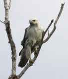 Cameron Parish, young Krider's Red-tailed Hawk