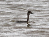 Lighthouse Rd, Eared Grebe