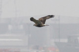 Rough-legged Hawk, Fourchon Beach, LA, 11/28/12