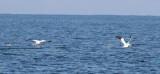 Northern Gannets on the water 10 miles offshore.