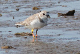 Piping Plover on west jetty flats