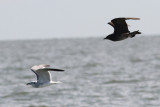 Parasitic Jaeger #1, chasing Laughing Gull
