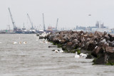 Birds on the Calcasieu River Jetties