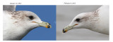 Same California Gull head comparison
