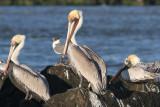 Brown Pelican,  Calcasieu River Pass Jetties, 2/17/2013