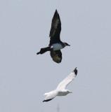 Pomarine Jaeger #4 and Herring Gull