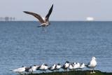 Lesser Black-backed Gull, Sabine River Pass