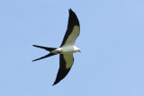 Intracoastal City Site, Individual Swallow-tailed Kites