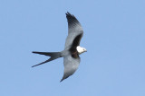 Photo Gallery of Swallow-tailed Kites