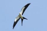 Swallow-tailed Kite Photo 2