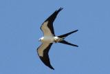 Swallow-tailed Kite Photo 3