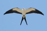 Swallow-tailed Kite Photo 4