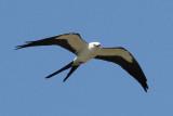 Swallow-tailed Kite Photo 5