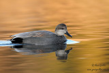 Canard chipeau - Gadwall - 3 photos