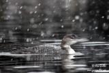 Plongeon huard sous la neige #6429.jpg