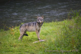 Fish Creek: wolf