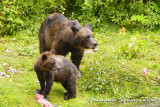 Fish Creek: bears
