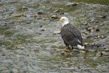 Fish Creek: bald eagle