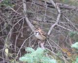 Harris' sparrow