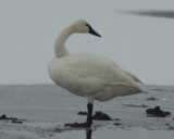 Bender Rd. Tundra Swans