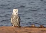 Snowy Owl 2030